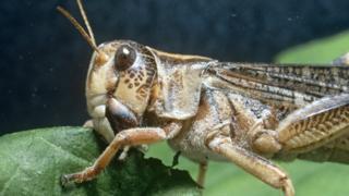 Locust - file pic