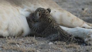 Крупный план того, как детеныш леопарда сосет молоко львицы