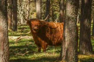 Highland cow in a forested glen