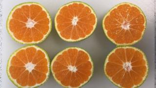 The insides of green satsumas are just as ripe as orange ones