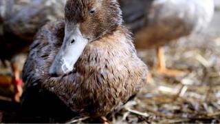 Lead poisoned duck (c) WWT