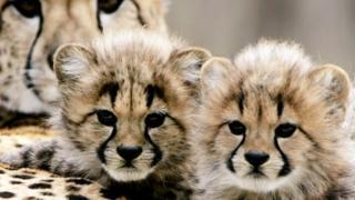 Детеныши гепарда