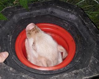 Piglet in traffic cone