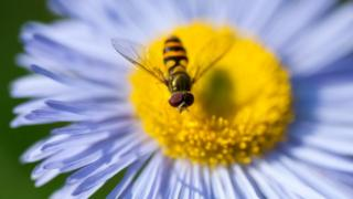 Hoverfly
