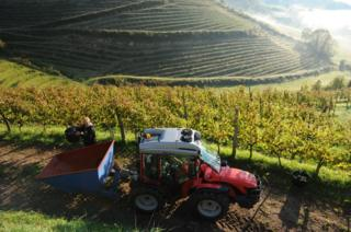 A man unloads a bucket full of grapes into a truck as grapes are harvested at the vineyard of wine maker Olivier Martin in Irouleguy on 28 September 2015