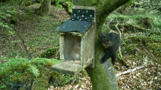 Red squirrel in feeder and pine marten