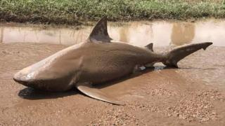 A bull shark that was found washed up on a road.