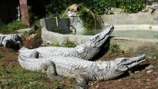 Crocodiles at Belvedere Zoo, Tunis