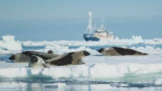 Seals on ice, with MS Havsel in the background