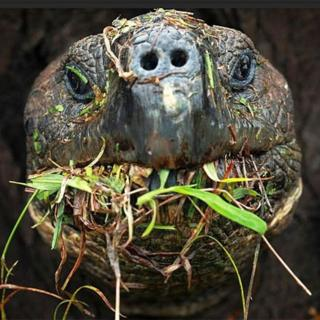 Tartaruga gigante de Galápagos se alimenta de vegetação