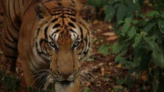 A tiger in Thailand