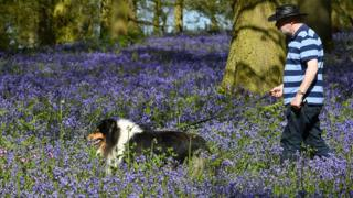 A man walks among the bluebells at the Blickling Estate in Norfolk on Sunday 6 May