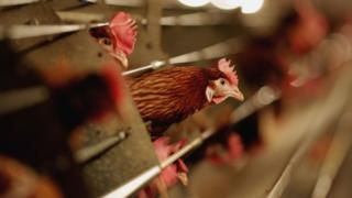 File photo of battery hens sitting in a chicken shed on February 6, 2007 in Suffolk
