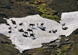 Reindeer on snow patch in Cairngorms