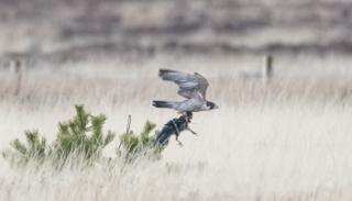 Peregrine with crow