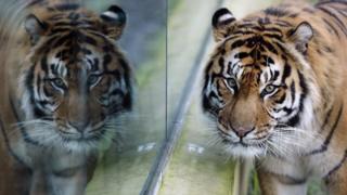 Sumatran tiger in London zoo