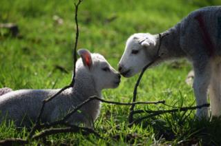 Lambs touching noses