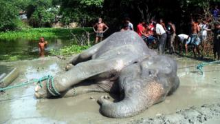 A tranquillised elephant lies on the ground after being pulled from a pond in the Jamalpur district, Bangladesh.