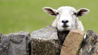 Овца за каменным забором