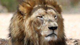 Lion, file pic