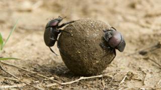 Gübre böceği