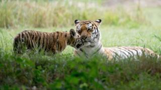 Two tigers at Yorkshire Wildlife Park