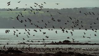 Pink footed geese arrive on the Forth Estuary