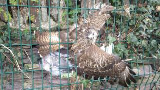 Trapped buzzard
