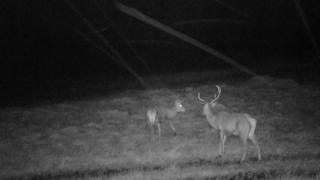 Stags caught on night vision camera