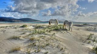 White horses at Luskentyre, Harris