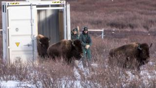 Parks Canada resource conservation staff watch as bison return to Banff National Park (01 February 2017)
