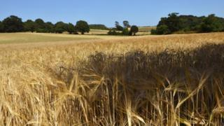 A field of cereal (either wheat or barley) in a field in Suffolk