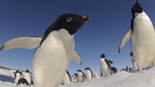 Пінгвін Аделі
