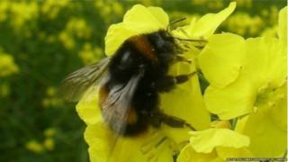 شہد کی مکھی