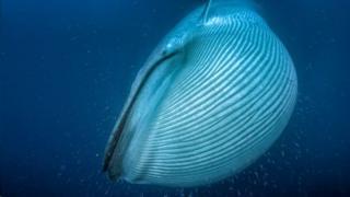 วาฬสีน้ำเงินอาจมีลำตัวยาวกว่า 30 เมตร โดยขนาดที่ใหญ่โตของมันช่วยเพิ่มโอกาสในการอยู่รอด