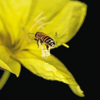 Galanthus nivalis e abelha