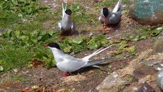 Three of the Arctic terns