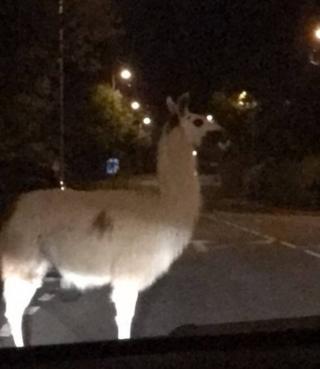 Escaped llama