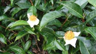 همه انواع چای از برگ گیاهی با نام علمی کاملیا سیننسیس تولید میشوند