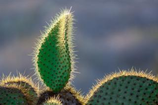 The evening sun catching the spines of a prickly pear cactus on South Plaza Island