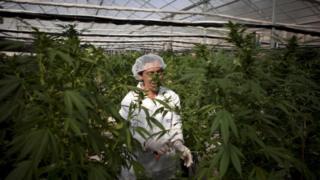 A cannabis farm near Safed in northern Israel