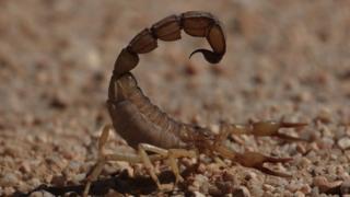 Androctunus Australis