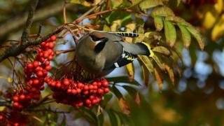 Waxwing feeding on rowan berries