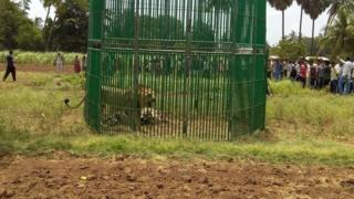 Captured lion