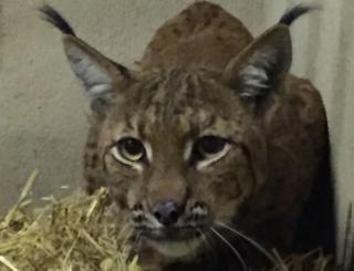 Flaviu the lynx