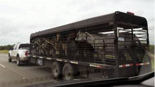 Horses are evacuated in San Antonio