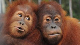 İki orangutan