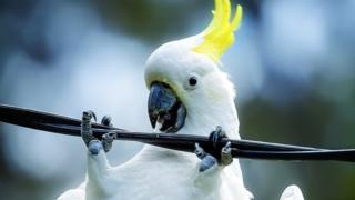 Cockatoos are common in Australia