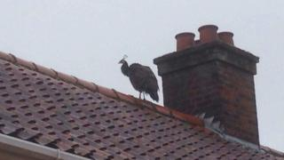 Peahen on roof in Norwich