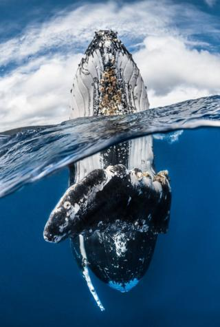 A humpback whale skyhopping.